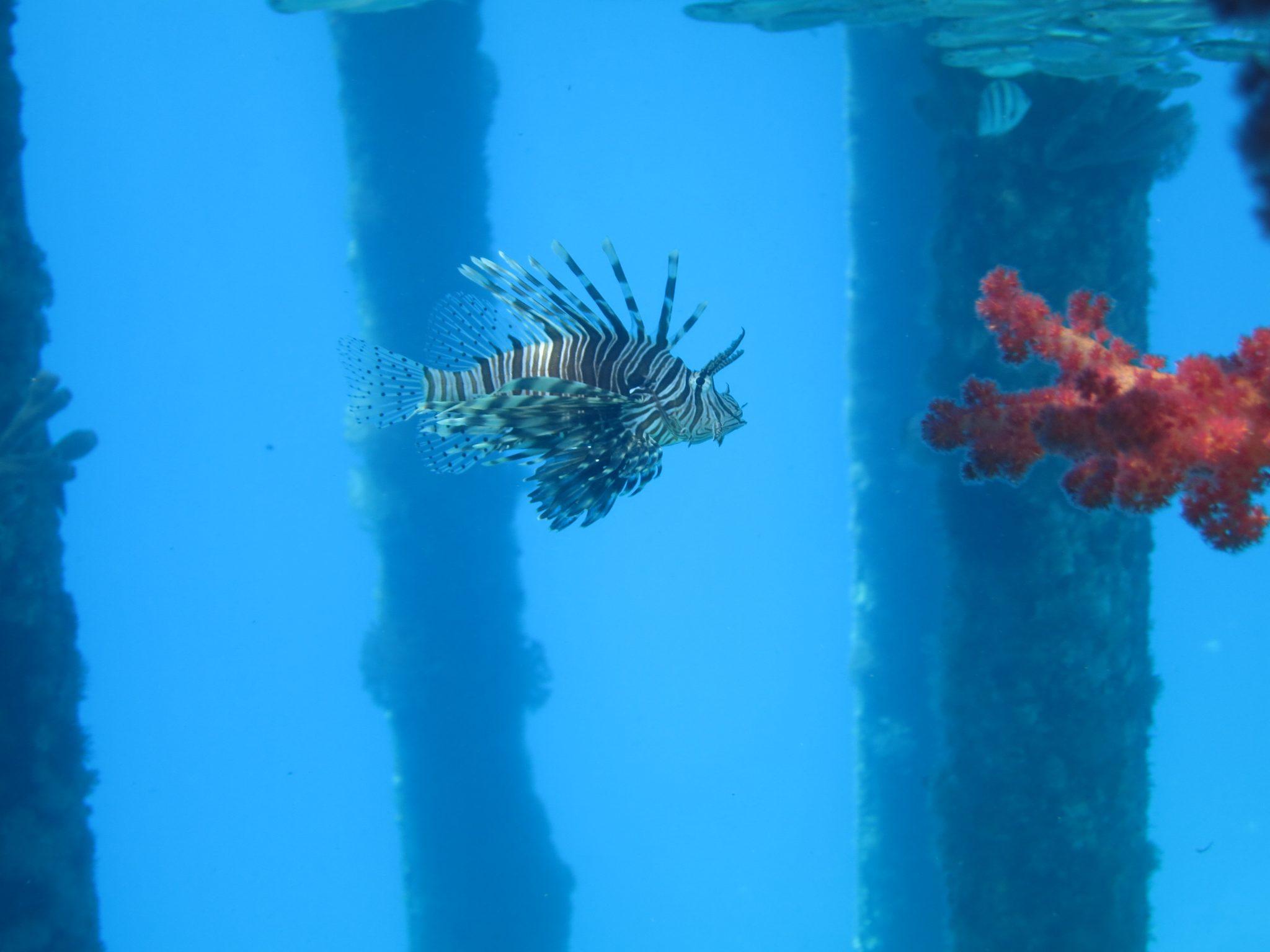 A lionfish in Jordan