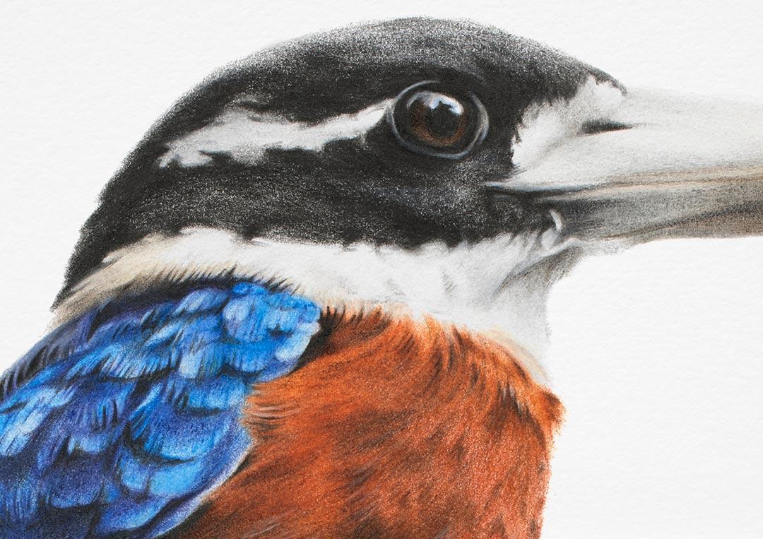 Rufous-bellied Kookaburra - Fine Art Print