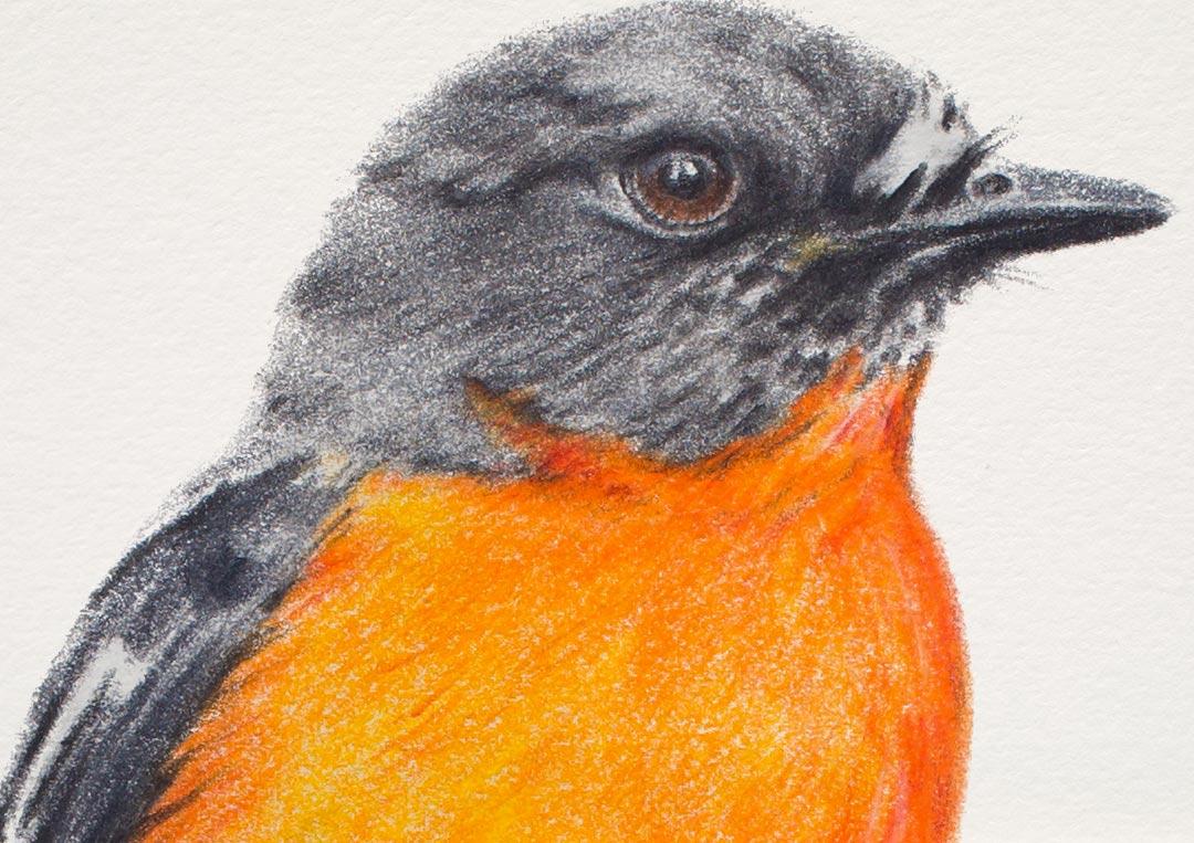 Flame Robin – Fine Art Print
