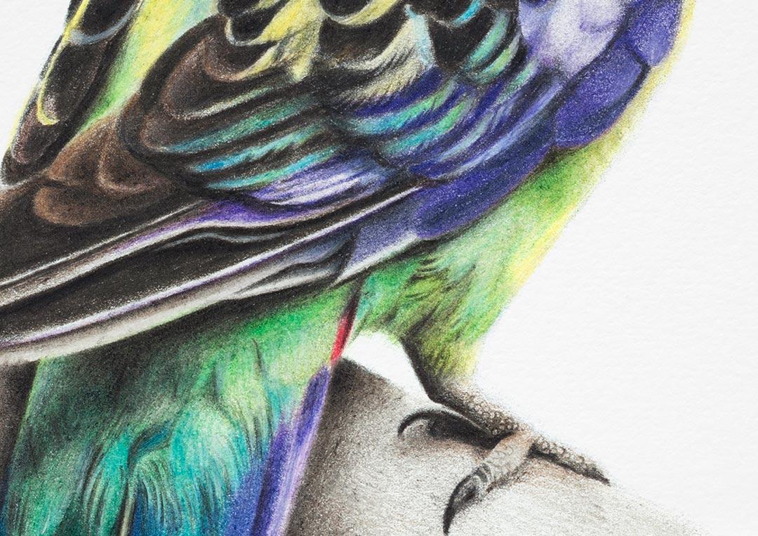 Eastern Rosella – Fine Art Print