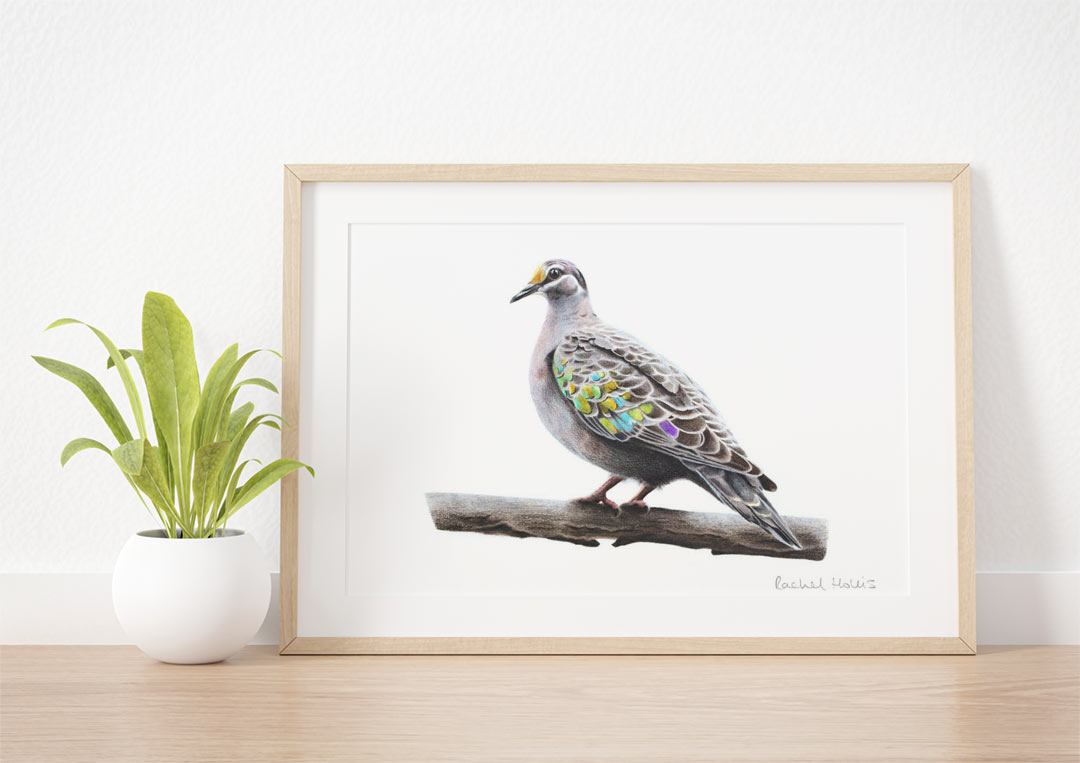 Bronzewing – Example of Framed Fine Art Print