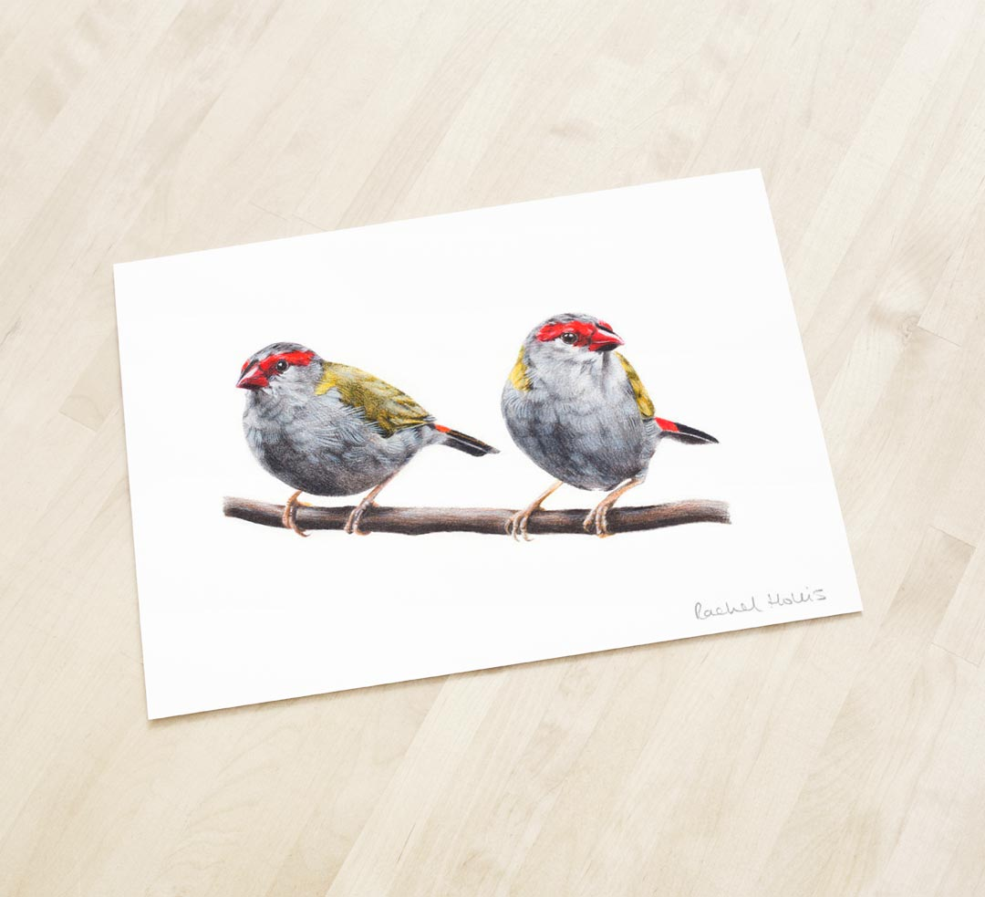 Red-browed Finches – Fine Art Print