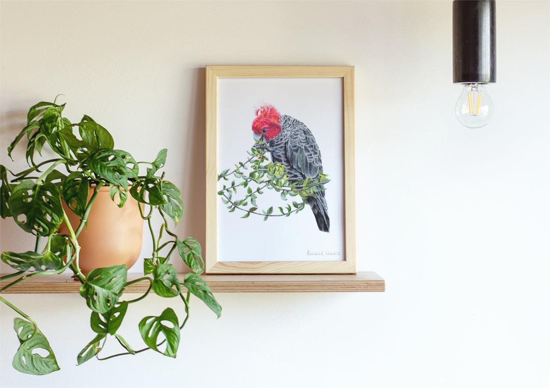 Gang-gang Cockatoo – Example of Framed Fine Art Print