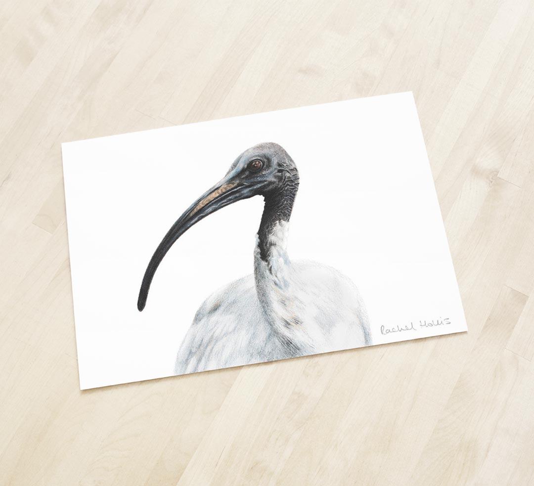 Australian White Ibis – Fine Art Print