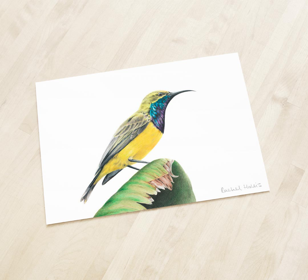 Olive-backed Sunbird - Fine Art Print