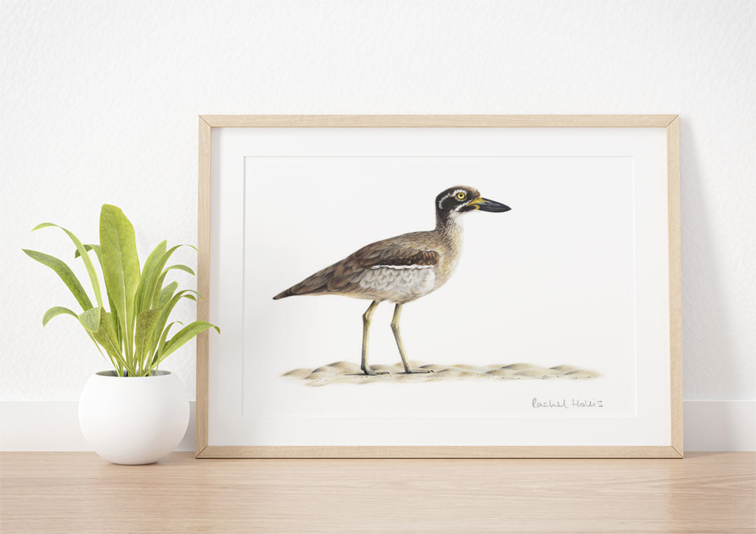 Beach Stone-curlew - Example of Framed Fine Art Print