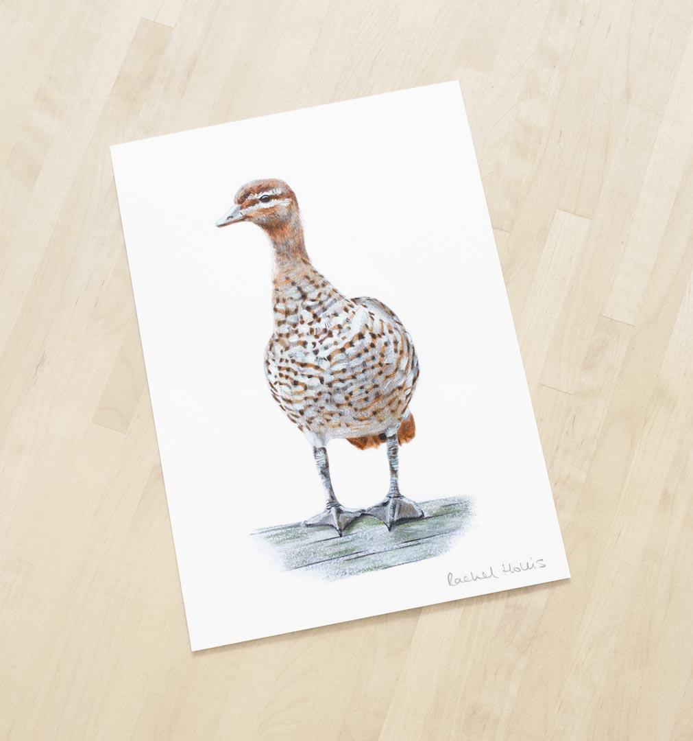 Australian Wood Duck – Fine Art Print
