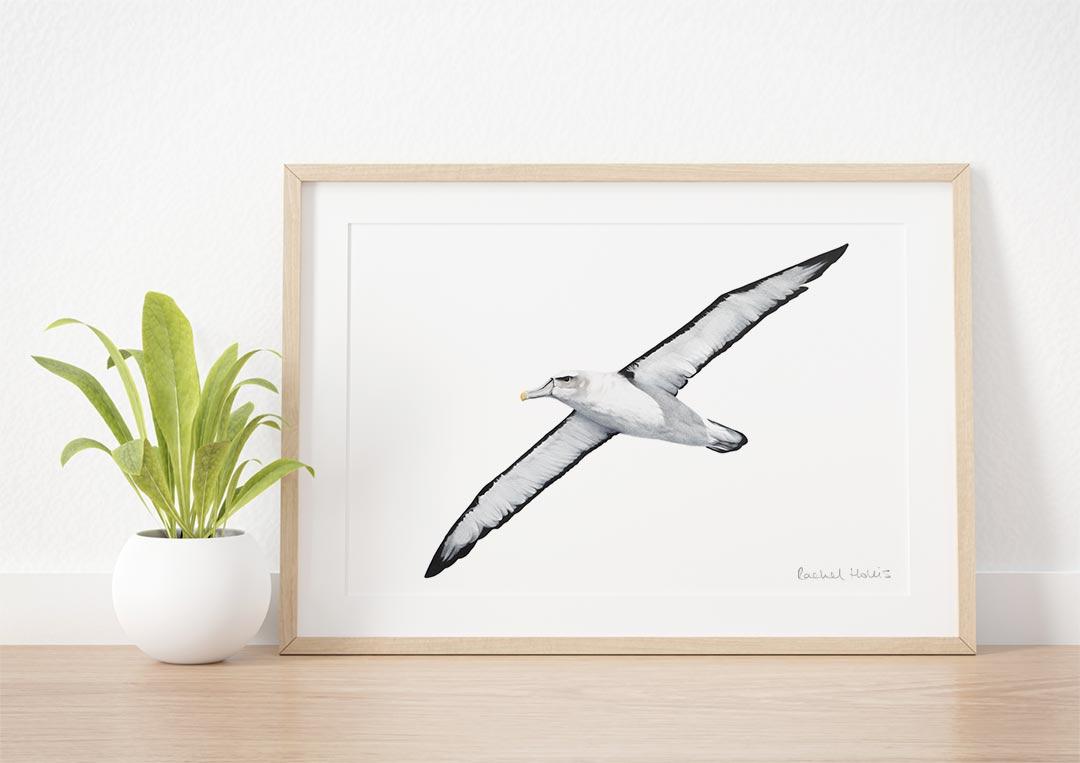 White-capped Albatross – Example of Framed Fine Art Print