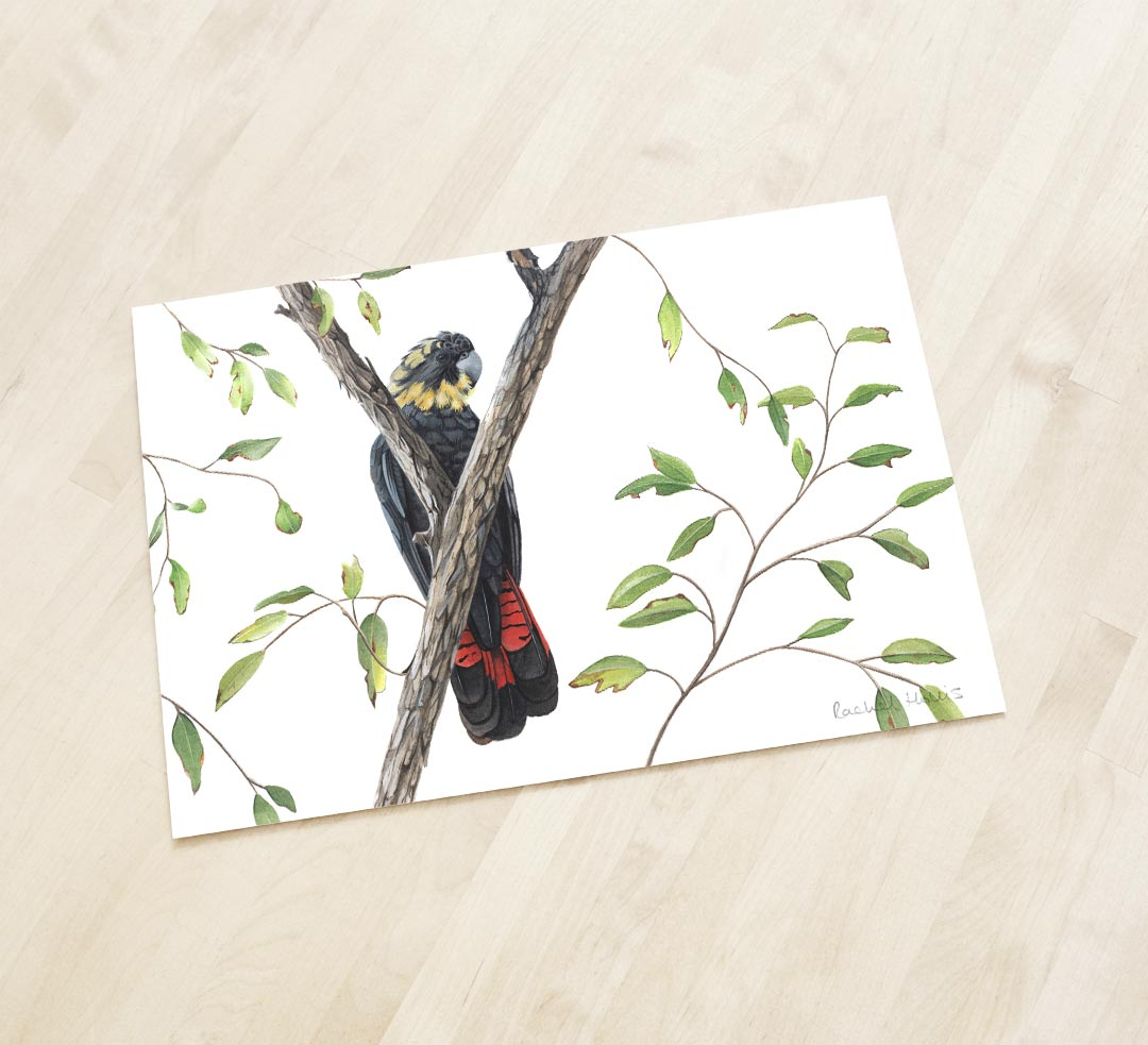 Glossy Black Cockatoo – Fine Art Print