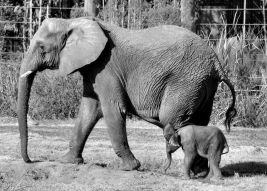 elephants-mom-baby
