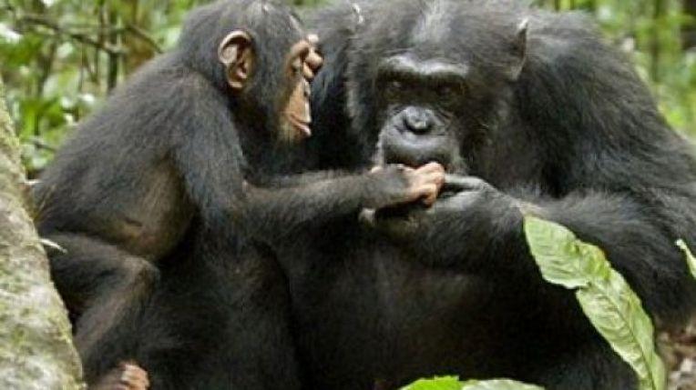 chimp4