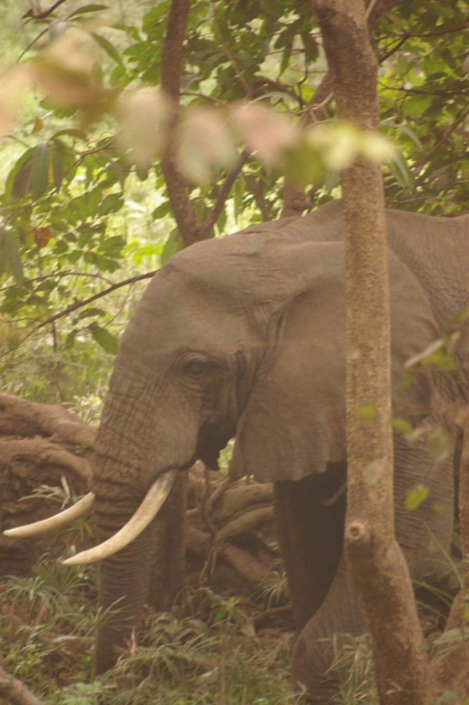 an elephant (Tanzania)