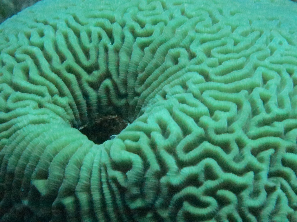 a brain coral (photo courtesy of Anne Hellersmith)