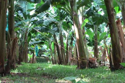 a view of banana trees in the grounds of the Banana Museum