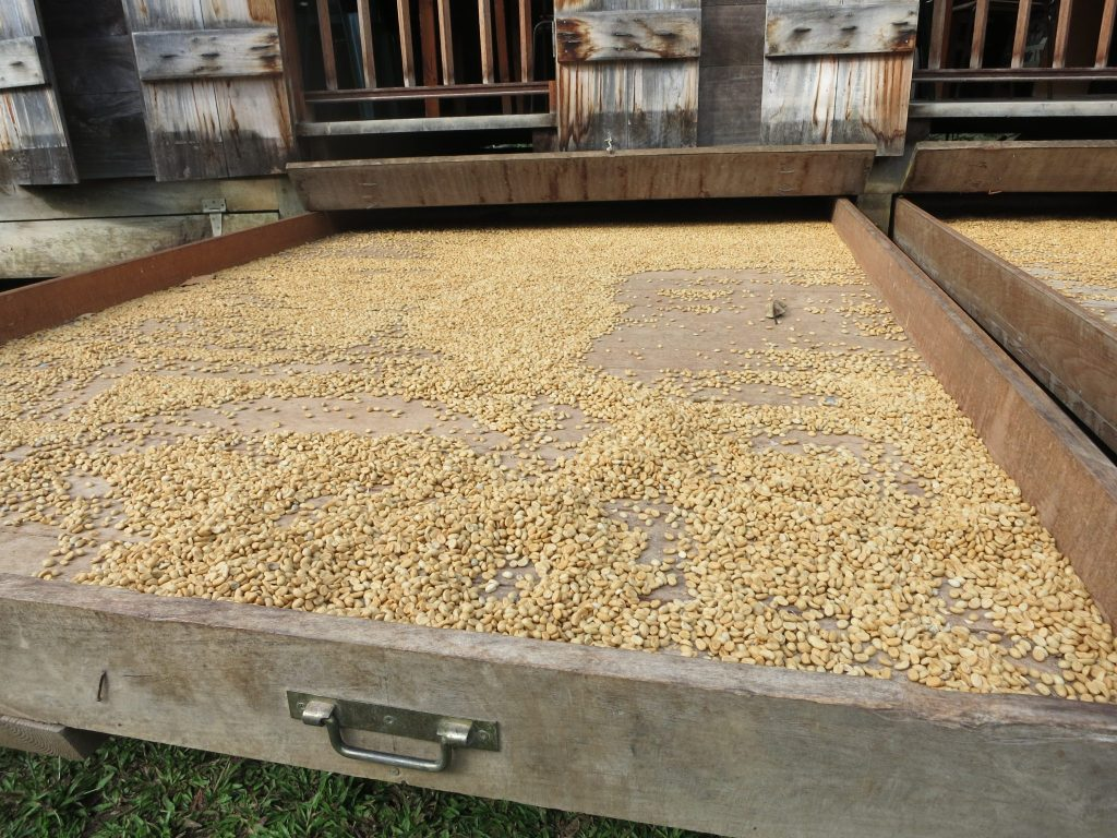 "coffee beans drying in a ""buccan,"" a large drawer."