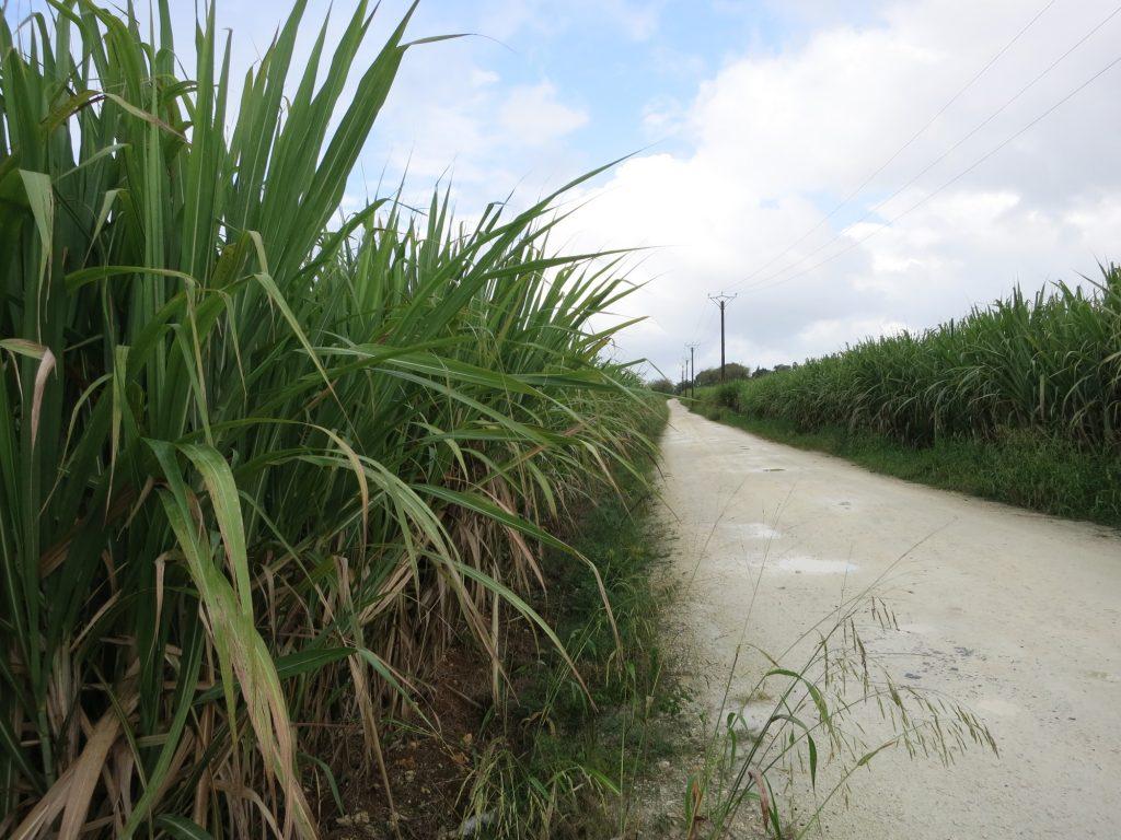 a sugar cane field