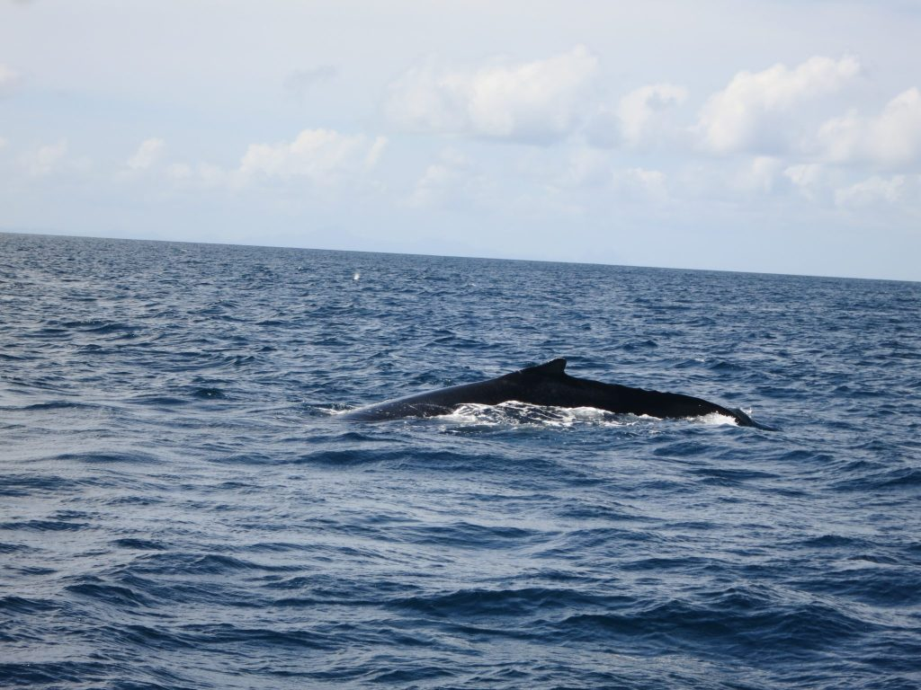 a view in which the whales back can be seen, on the Martinique snorkeling trip