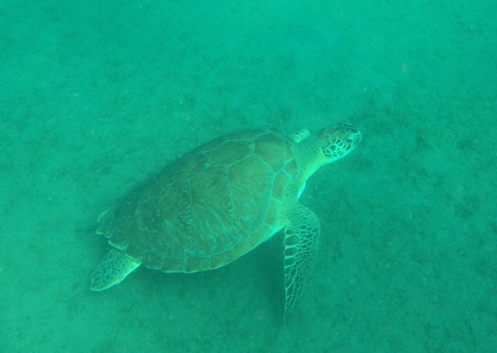 photo shows a turtle, taken while snorkeling