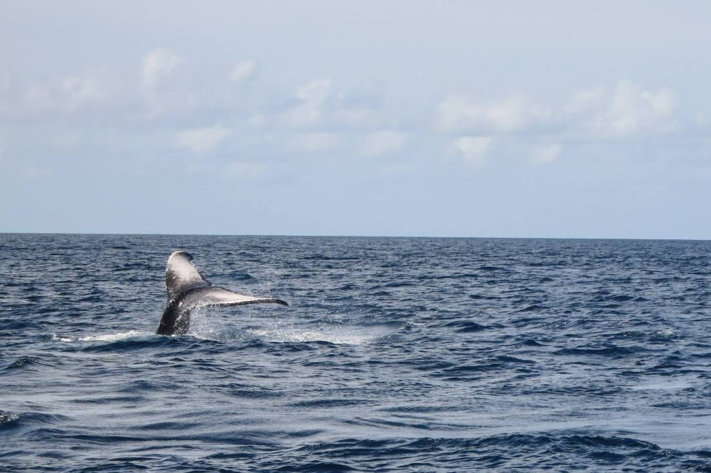 view of a whale's tail sticking out of the water in the distance on my Martinique snorkel trip