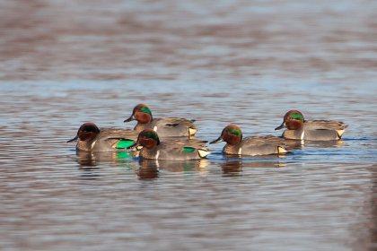 colorful ducks swimming in Bossier