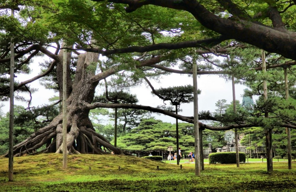 A very old pine tree in Kenrokuen Garden: thick, with a tangle of roots visible stretching out from its base. It has poles under its branches, keeping them up and off the ground. Is Kanazawa worth a visit?