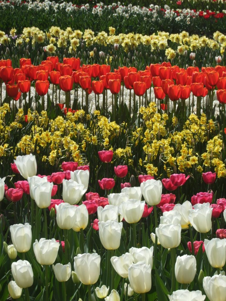 Colorful bulb gardens at Keukenhof, one of the must-see places in the Netherlands if you visit in the spring.