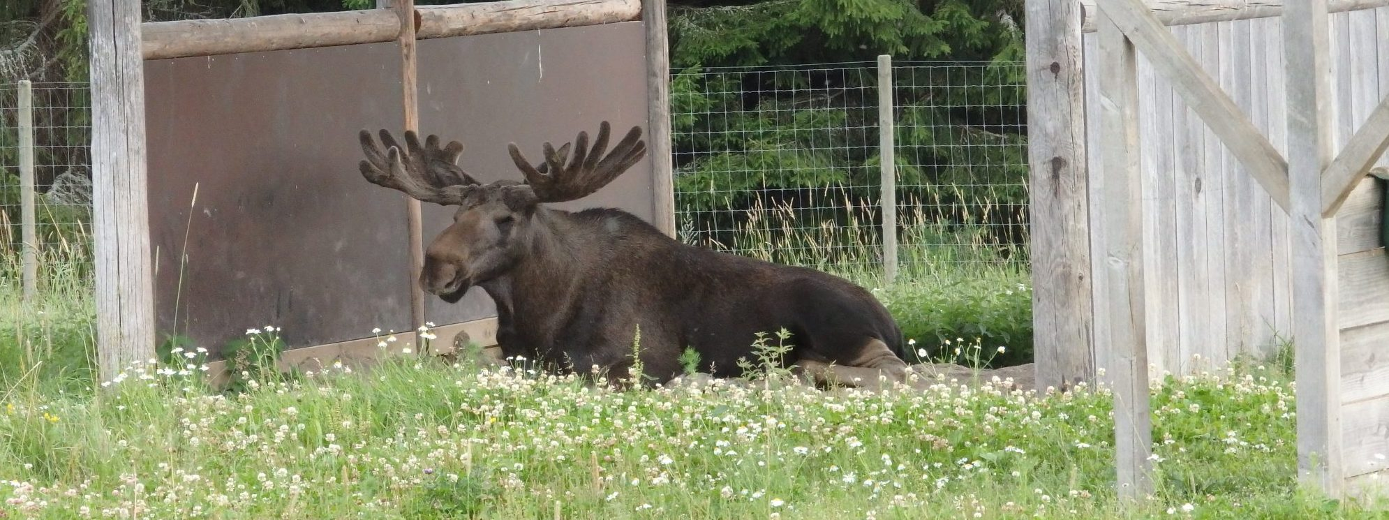 a resident moose at Öster Malma