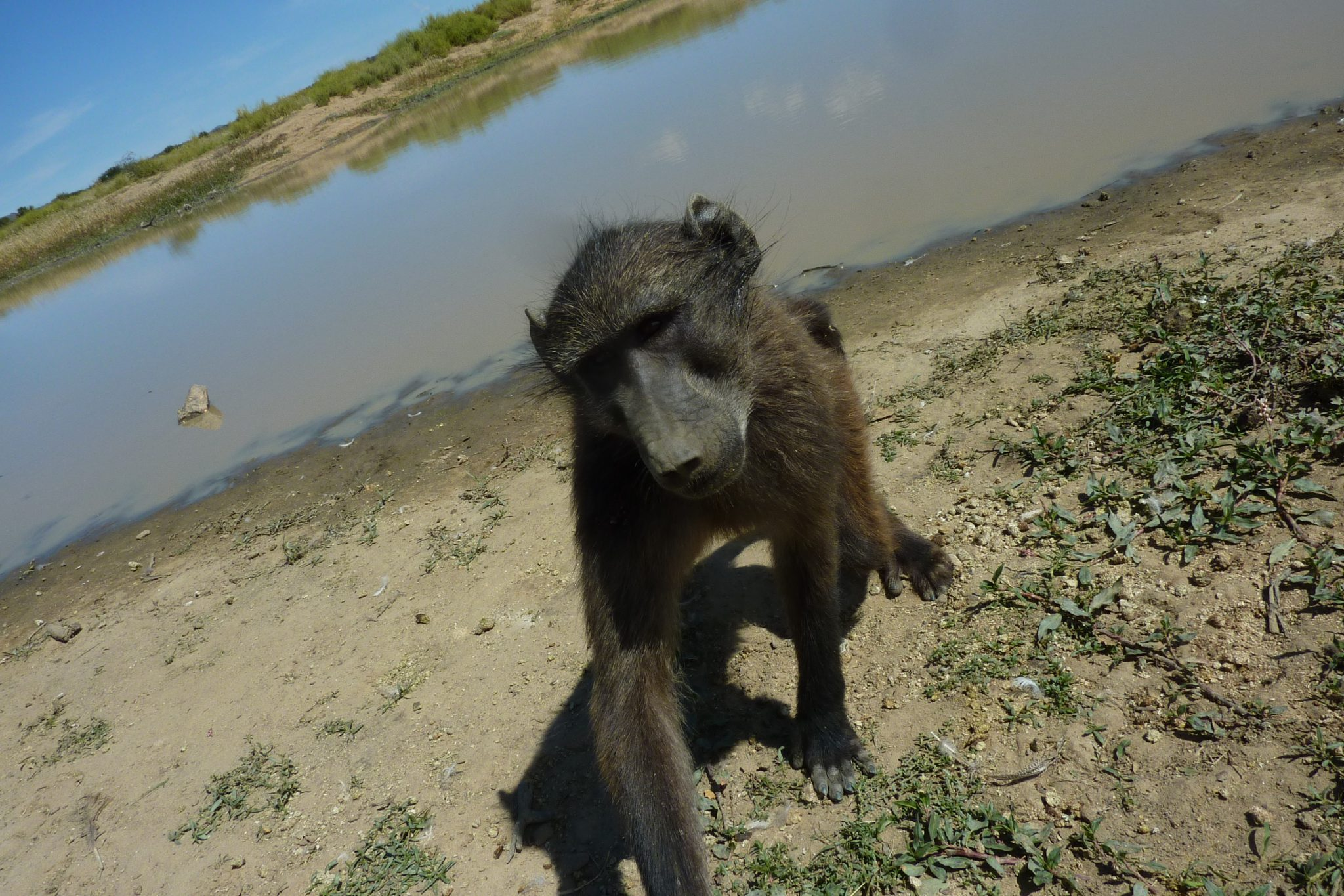 a baboon: photo courtesy of Maria Hart