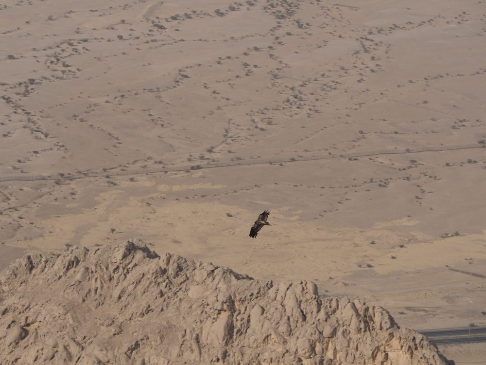A vulture soars over the desert, as seen from Jebel Hafeet in Al Ain.