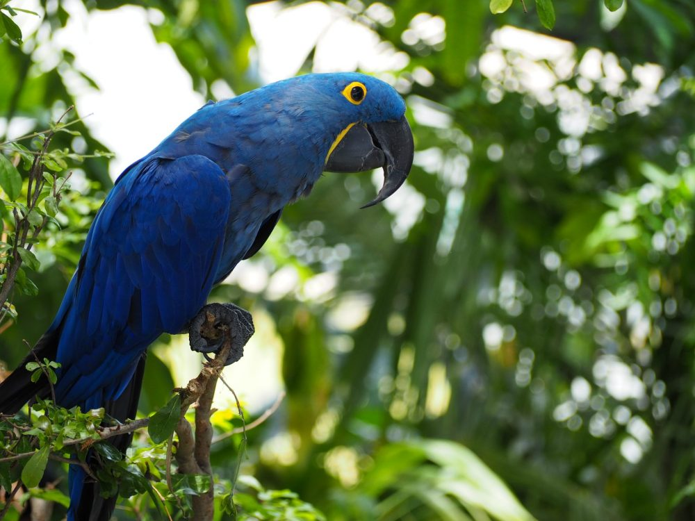 a hyacinth macaw at The Green Planet Dubai: it's mostly blue, with a bit of yellow around its eye and beak. The top beak is curved downwards over the lower. It is perched on a branch with greenery behind it.