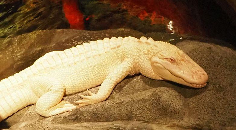 an albino alligator at the Lost Chambers Aquarium in Dubai