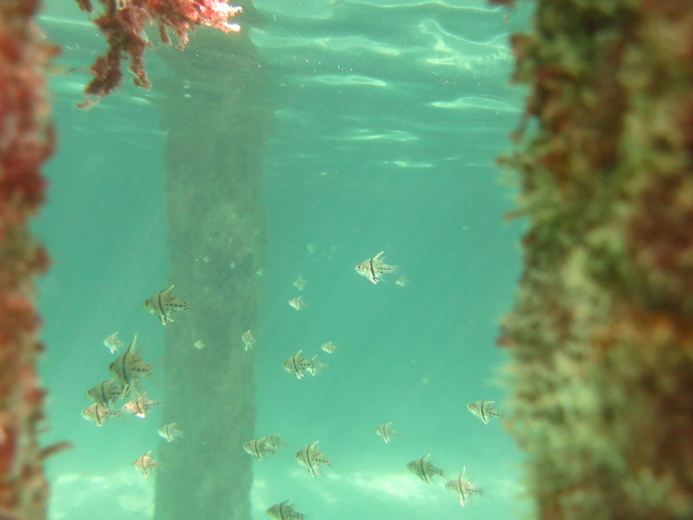 Banggai cardinalfish at Lankayan Island Dive Resort
