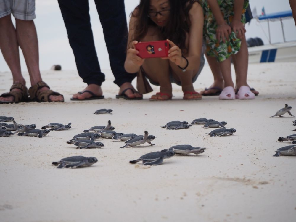 Baby turtles racing frantically to the sea as visitors watch.