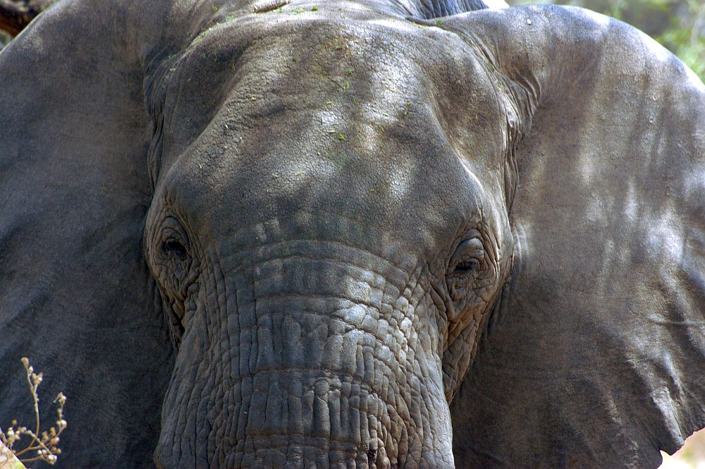 a close-up of an elephant's face from straight in front of it. The ears stand out to the sides and fill the picture.