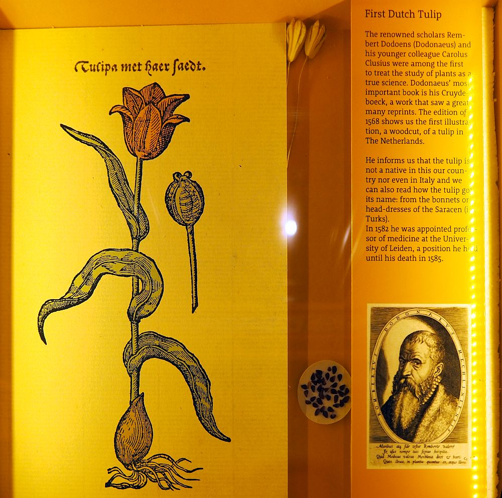 """On the left, a woodcut of a red tulip, labeled as """"tulipa met haer faedt."""" Next to it, an explanatory text telling about how two scholars first studied plants in a scientific way and how this woodcut comes from a work Rembert Dodoens wrote. He included the tulips origin and explains its name as coming from a Turks word for bonnets or headdresses. Below that is a small portrait of Dodoens."""