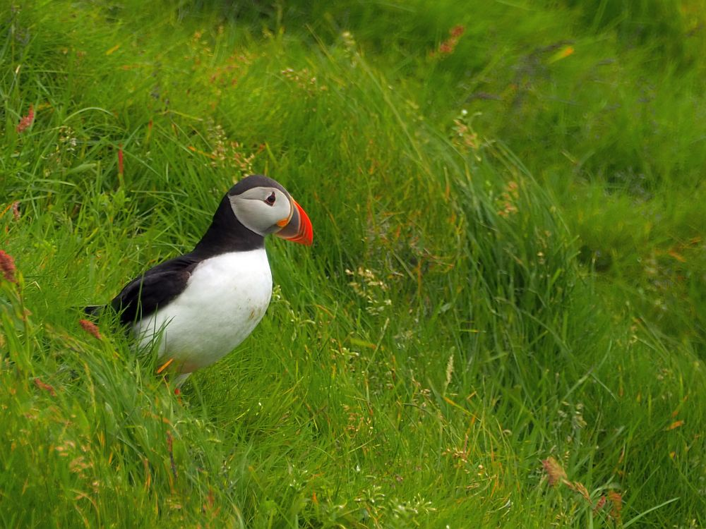 The puffin stands on a grass-covered hill, facing to the right. It has a white belly, black back and a peculiarly rounded beak that is bright red, with a stripe of yellow on the side and black near its face.