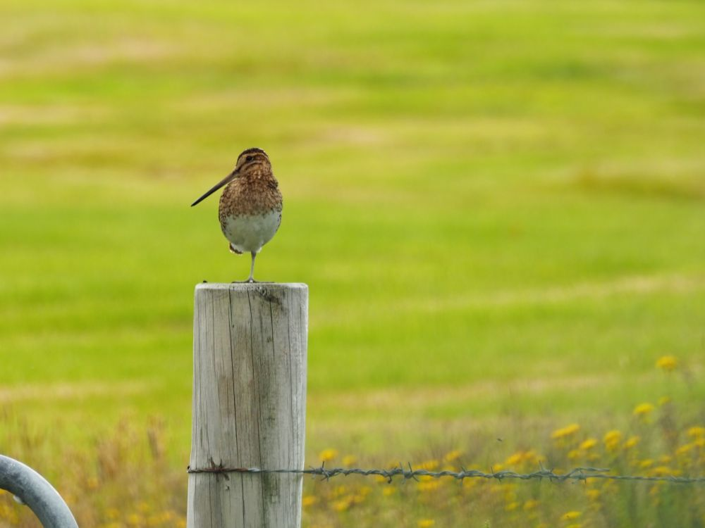 A small bird stands on a fence post. It has a long pointy beak. Its body is brown, with a whiter belly. It stands on one foot and looks to the left.