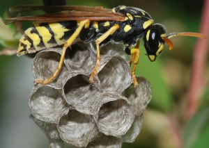 Wasp March 2008 Polistes dominula European paper wasp wikipedia