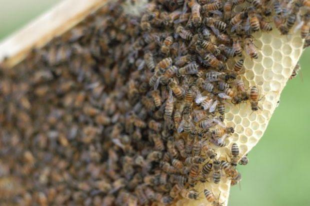 Keeping bees. [Clean.]