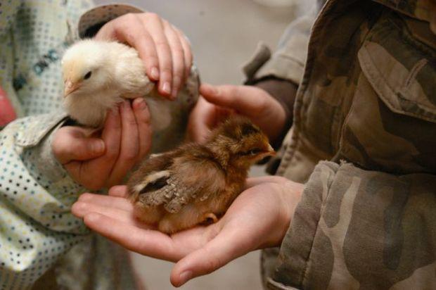 Chicks_feb