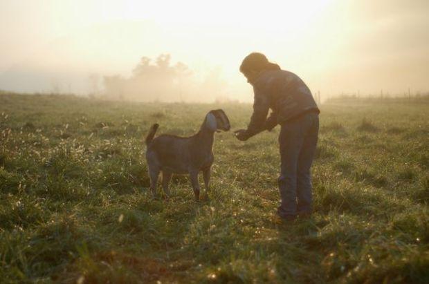 Goat_love