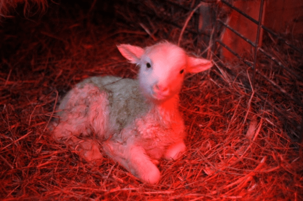 Winter lambs | Clean.
