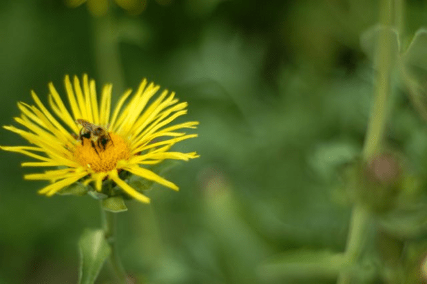 Making medicine: Elecampane honey cough syrup