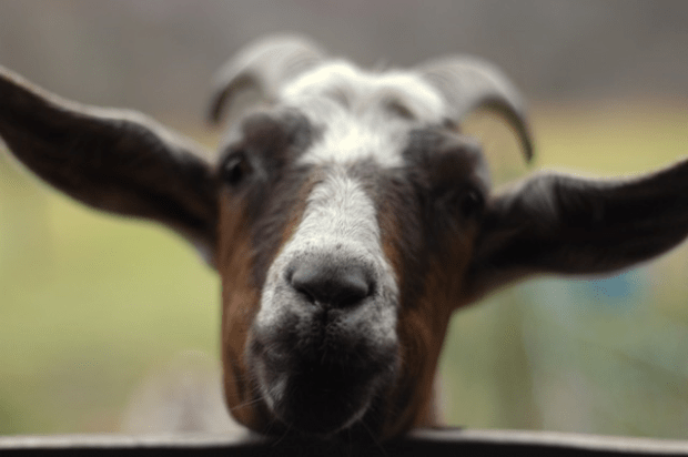 I didn't think I liked goats. I was wrong.