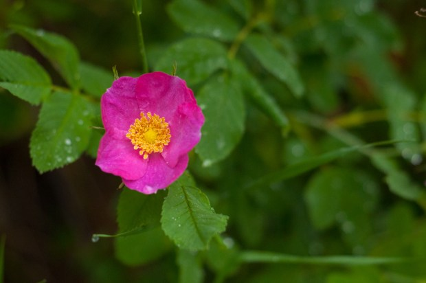 Wild Rose Remedies: five simple recipes to make at home.