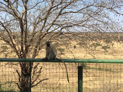 These naughty monkeys waited at the picnic area and would try and steal your lunch
