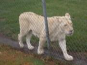 A white lioness