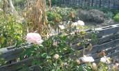 Gorgeous light pink huge tea roses