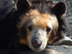 Hallie Andean Bear