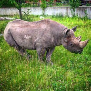 rhino_1